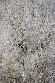 Hoarfrost, Cold, Winter, Trees, Birch, Winter Time