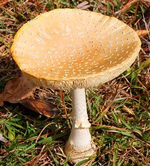 Mushroom, Amanita Muscaria, Flavivolvata, Fly Agaric