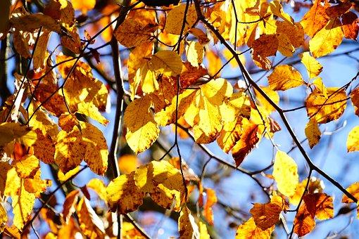 Golden Autumn, Beech, Tree, Leaves, Autumn