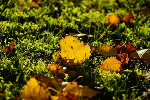 Birch, Autumn, Fall Foliage, Leaves, Ground, Grass