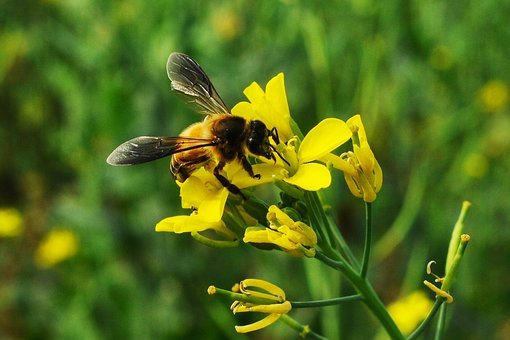 Bee, Insect, Wing, Honeybee, Flying, Yellow, Nature