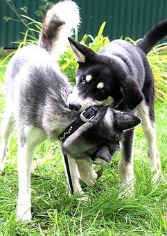 Husky, Volkosob, Game, Dogs, Pets, Bite, Grass