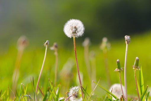 Dandelion, Plant, Flower, Nature, Summer, Spring