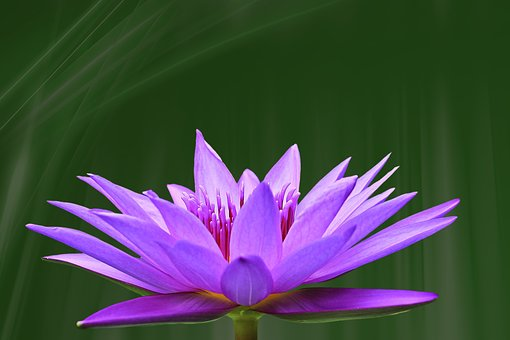 Pond Lily, Water Lily, Pink, Blossom, Bloom, Pond Plant