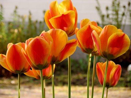 Tulips, Tulpenbluete, Spring, Orange, Blossom, Bloom