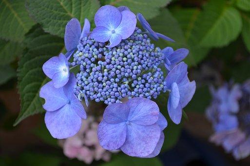 Hydrangea, Flowers, Purple, Blossom, Bloom