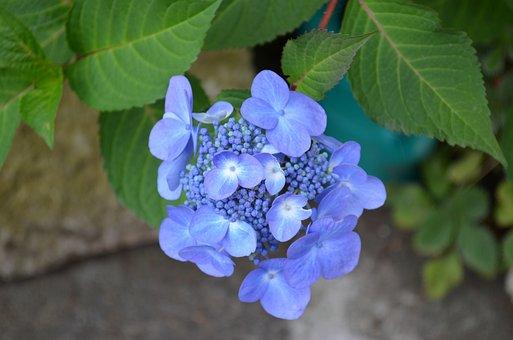Hydrangea, Flowers, Purple, Plant