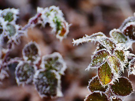 Rose Petals, Hoarfrost, Frost, Frozen, Cold, Winter