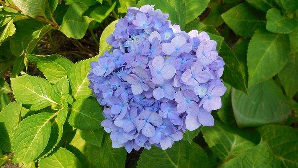 Hydrangea, Flower, Blue, Spring, Garden, Natural