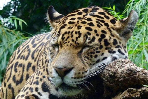 Jaguar, Wild Animal, Zoo, Close, Cat