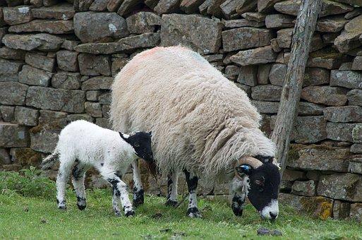 Sheep, Lamb, Dalesbred, Yorkshire, Wall, Meadow
