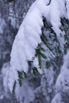 Winter, Branches, Conifers, Snow, Snowy