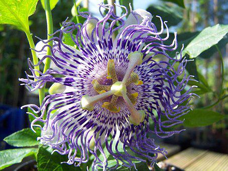 Passiflora Sugar Plum Fairy, Hybrid, Creeper, Tropicale