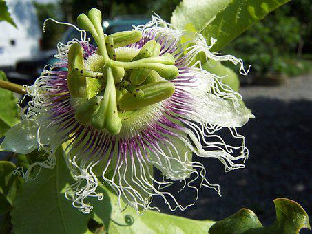 Passiflora, Edulis, Creeper, Flower, Fruit, Stamens