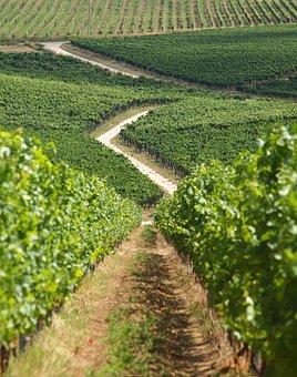 Baranya, Wine Region, Kisharsány, Villány, Grape, Green