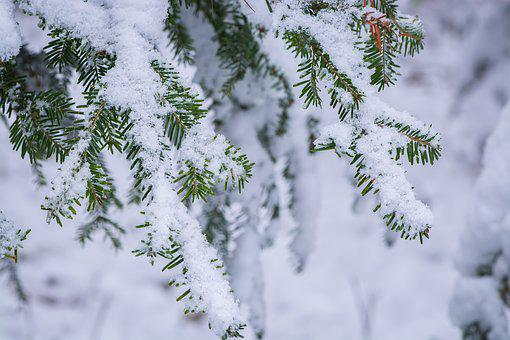 Winter, Wintry, Winter Time, Aesthetic, Conifer, Snowy