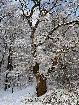 Tree, Snow, Winter, Cold, Forest, Frost, Aesthetic
