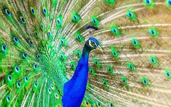 Peacock, Bird, Plumage, Exotic, Bright, Color, Colorful