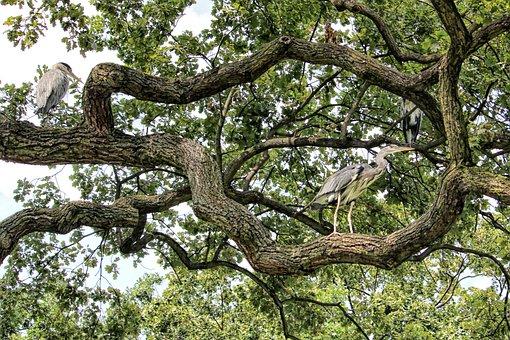 Aesthetic, Tree, Gnarled, Birds, Heron, Grey Heron, Oak
