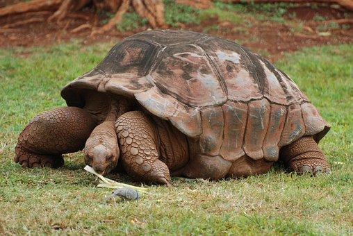 Animal, Tortoise, Land Turtle