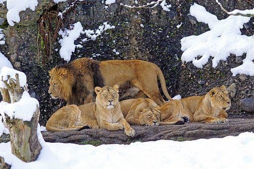 Lion, Pride Of Lions, Predator, Carnivores, Mammal