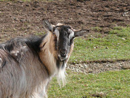 Goat, Nature, Animal, Farm, Poultry, Outdoor, Head