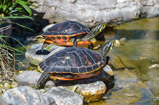 Florida, Rotbauch, Eared, Pseudemys Nelsoni, Turtle
