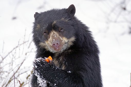 Spectacled Bear, Predator, Food, Andean Bear, Andes