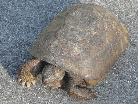 Tortoise, Turtle, Animal