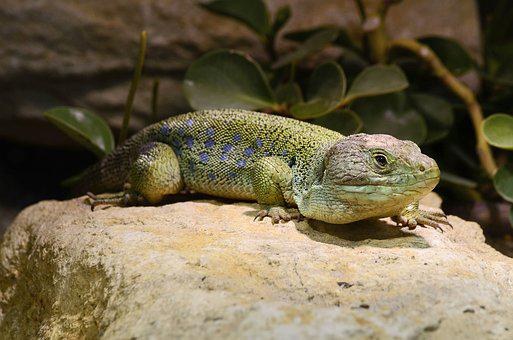 Lizard, Timon Lepidus, Cold Blooded Animals, Reptile