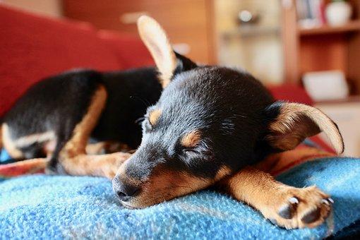 Puppy, Dog, Animal, Pet, Tenderness, Sweet, Snuff, Ears