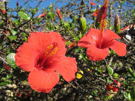 Madeira, Mallow, Flower, Red, Hollyhock Flower, Close