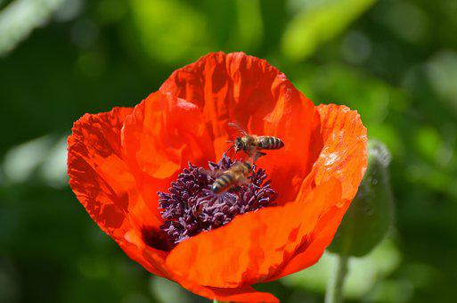 Poppy, Riesen, Bees, Nature, Klatschmohn, Mohngewaechs