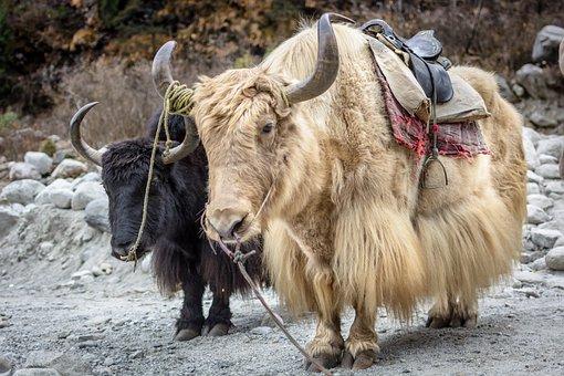 Manali, Himalayas, Yak, Cattle, Horns, Solang, Nandi