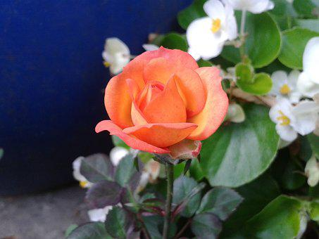 Orange, Rose, Flower