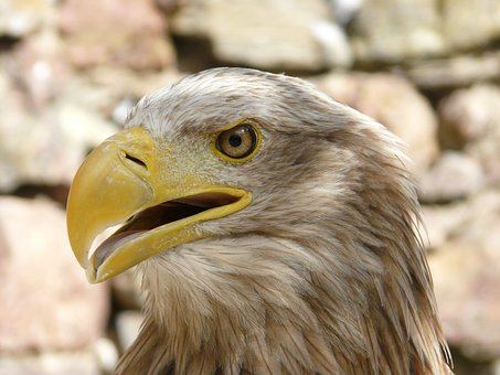 Eagle, Bird, Raptor, Wild Birds, Animal, Nature