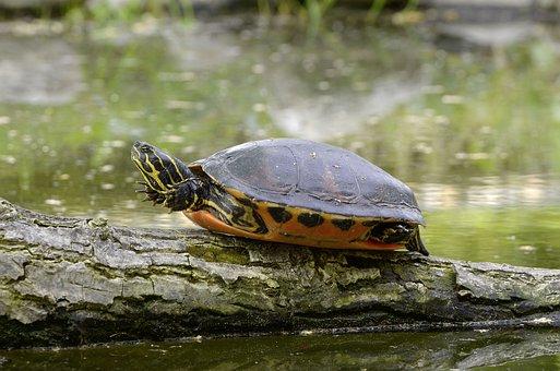Florida Rotbauch Eared, Water Turtle, Sun