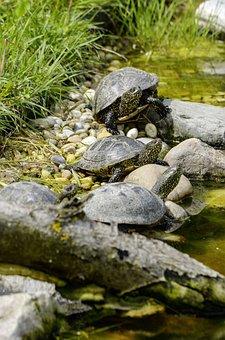 Emys Orbicularis, European Marsh Turtle, Turtle, Nature