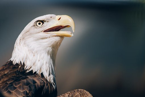 Bird, Bird Of Prey, Raptor, White Tailed Eagle, Zoo