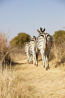 Wildlife, Africa, Zebra
