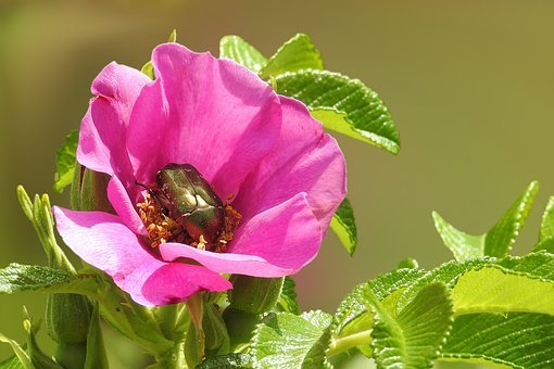 Flower, Blossom, Bloom, Wild Rose, Insect, Beetle, Red