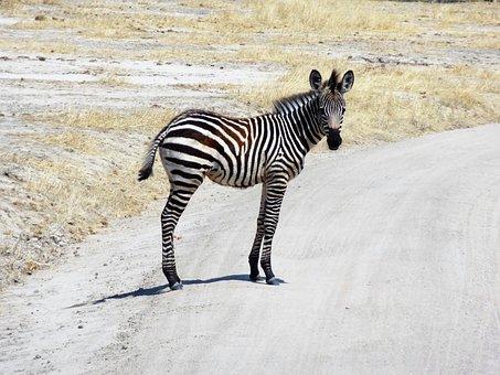 Zebra, Africa, Safari, Wild Animal, Black And White