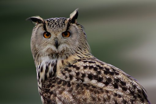Owl, Bird, Bird Of Prey, Animals, Close