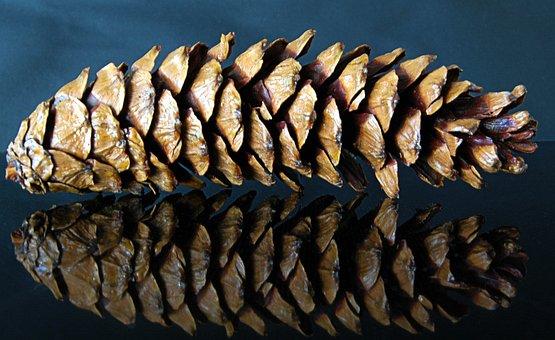 Pine Cones, Tap, Mirroring, Fir, Nature, Conifer, Macro