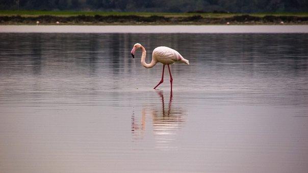 Flamingo, Bird, Migratory, Nature, Animal, Pink