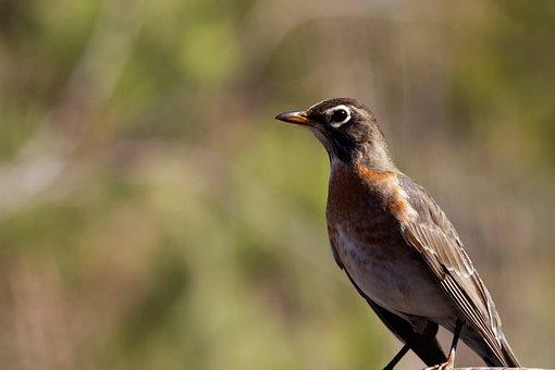Robin, Juvenile, Bird, Wildlife, Nature, Baby, Outdoor