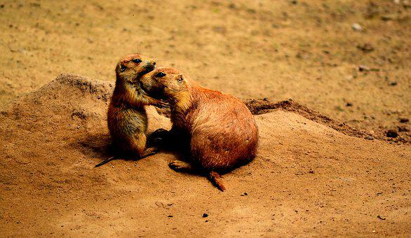 Prairie Dogs, Friends, Sweet, Animals, Animal World