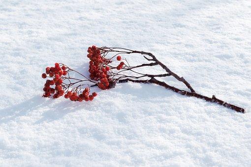 Rowan, Snow, Winter, Branch