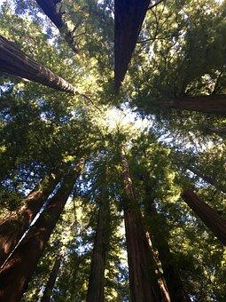 Redwood Trees, Canopy, Tree
