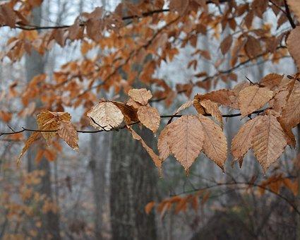 Beech Leaves, Beech, Tree, Leaves, Foliage, Winter